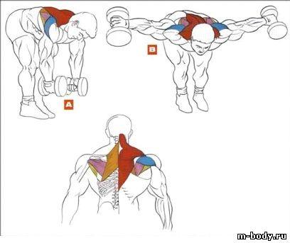 а также на мышцы спины.
